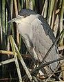 Black-crowned Night Heron (25471860688).jpg