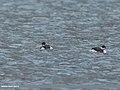 Black-necked Grebe (Podiceps nigricollis) (32928665538).jpg