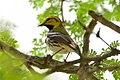 Black-throated Green Warbler (male)-Bentsen-Rio Grande SP-TX - 2015-05-07at15-33-211 (20987325383).jpg