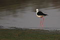 Black-winged Stilt, Common Stilt, or Pied Stilt, Himantopus himantopus at Borakalalo National Park, South Africa (9868779075).jpg