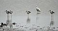 Black-winged Stilts (Himantopus himantopus) with an Egret W IMG 9693.jpg