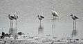 Black-winged Stilts (Himantopus himantopus) with an Egret W IMG 9693.jpg