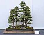 Black Hills Spruce bonsai forest planting, July 13, 2008.jpg
