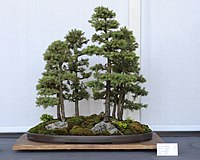 Photograph of forest-style Black Hills spruce bonsai
