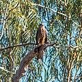 Black Kite, Burke River Boulia Queensland P1030963.jpg