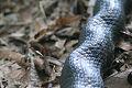 Black Rat Snake, Crinkle.jpg