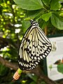 Black and white butterfly (12010225564).jpg