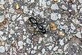 Black carpenter ant (27477793650).jpg