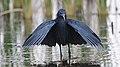 Black heron, Egretta ardesiaca, at Marievale Nature Reserve, Gauteng, South Africa (40073703081).jpg