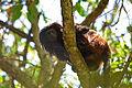 Black lion tamarin Pontal do Paranapanema 11.jpg