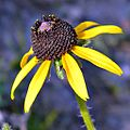 Blackeyed Susan (5712793170).jpg