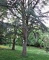 """Blaue Atlas-Zeder (Cedrus atlantica cv. 'Glauca') - Grünanlage """"Botanischer Garten"""" mit wertvollem Baumbestand - Eschwege - panoramio.jpg"""
