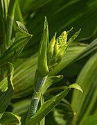 Bloemknop Persicaria polymorpha. Locatie, Tuinen Mien Ruys in Dedemsvaart.jpg