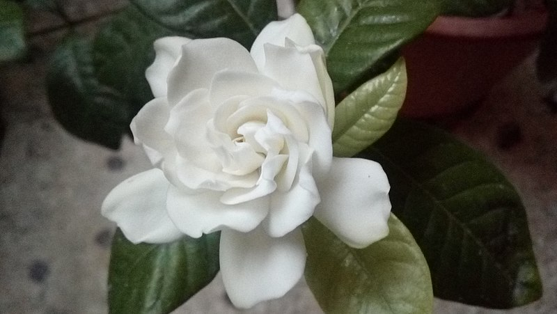 Αρχείο:Blooming stages of gardenia flower 04.jpg