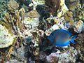 Blue Tang (5295765748).jpg