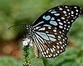Blue Tiger (Tirumala limniace) on Heliotropium indicum W2 IMG 9940.jpg