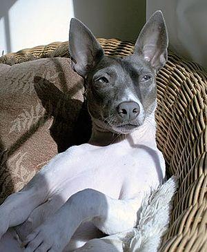Rat Terrier - Rat Terriers are content in- or out-of-doors.