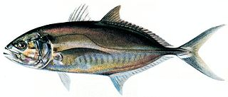 Osteichthyes superclass of fishes