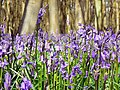 Bluebells and beeches, Cobham Frith, Savernake - geograph.org.uk - 775406.jpg