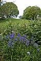 Bluebells in the hedgerow, Llanrosser - geograph.org.uk - 178514.jpg