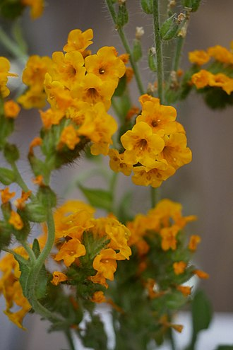 Amsinckia douglasiana - Image: Boraginaceae Douglas Fiddleneck Amsinckia douglasiana