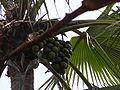 Borassus aethiopum 0012.jpg