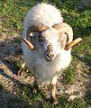 Boreray Ram.jpg