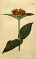 Botanical Magazine 2339 (pl) Burchellia bubalina.png