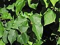 Bougainvillea glabra (paperflower) (Captiva Island, Florida, USA) 2 (23894810269).jpg