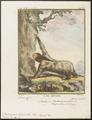 Bradypus torquatus - 1700-1880 - Print - Iconographia Zoologica - Special Collections University of Amsterdam - UBA01 IZ21000153.tif