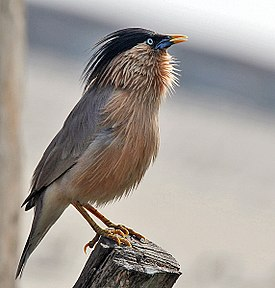 Brahminy Starling (Sturnus pagodarum) at Hodal I Picture 0123.jpg