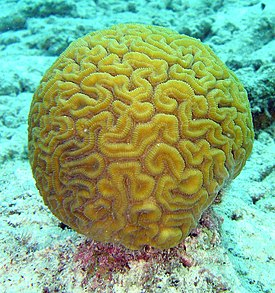 http://upload.wikimedia.org/wikipedia/commons/thumb/5/56/Brain_coral.jpg/275px-Brain_coral.jpg