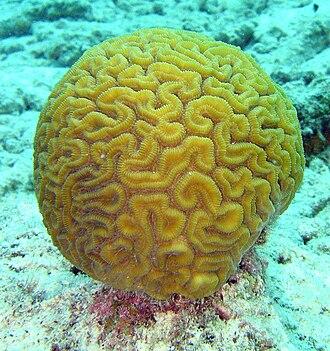 Scleractinia - Diploria labyrinthiformis, a brain coral