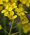 Brassica rapa ENBLA05.jpg