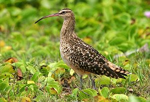 Bristle-thighed curlew - Image: Bristle thighed Curlew