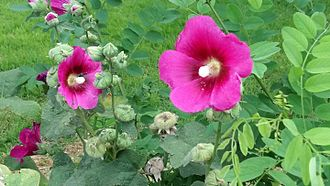 Alcea setosa - Bristly hollyhock flowers and leaves, with Robinia sp. leaves