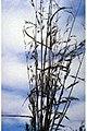 Bromus carinatus 0.jpg