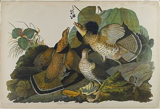 Ruffed grouse - Ruffed Grouse by John J. Audubon c. 1861