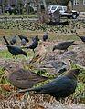 Brown-headed Cowbird From The Crossley ID Guide Eastern Birds.jpg
