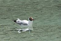 Brown-headed Gull 2.JPG