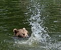 Brown Bear bathing.jpg