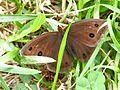 Brown butterfly1-02.jpg