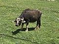 Bubalus bubalis - Water buffalo 05.jpg