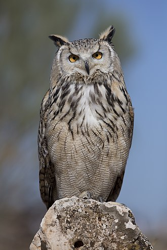 Eurasian eagle-owl - An adult of the subspecies B. b. sibiricus