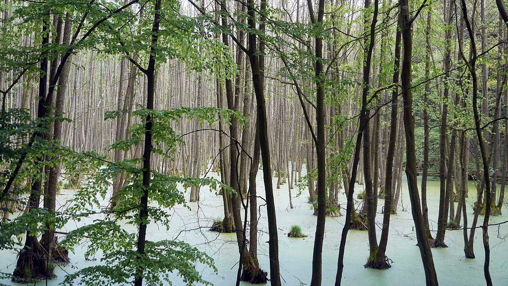 Buchenwald im UNESCO-Weltkulturerbe Grumsiner Forst.