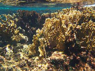 Buck Island Reef National Monument - Image: Buck Island St Croix fire coral