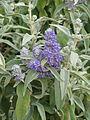 Buddleja salviifolia (17966565868).jpg