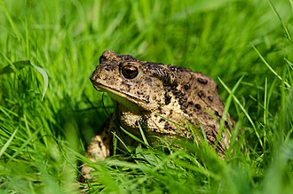 Asiatic toad - Image: Bufo gargarizans
