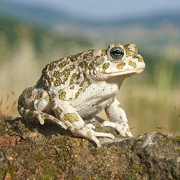 Balearic green toad