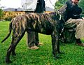 Bullmastiff dark brindle.jpg